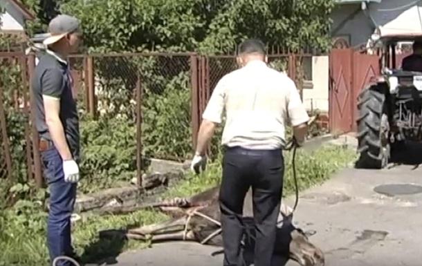 У Львові лось загинув,  перелазячи  через паркан