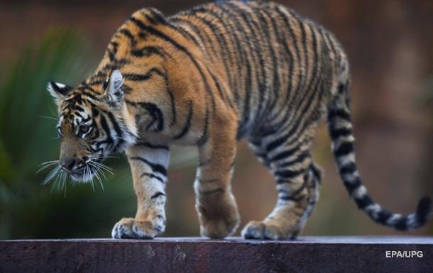 У В єтнамі тигр відірвав обидві руки працівнику зоопарку