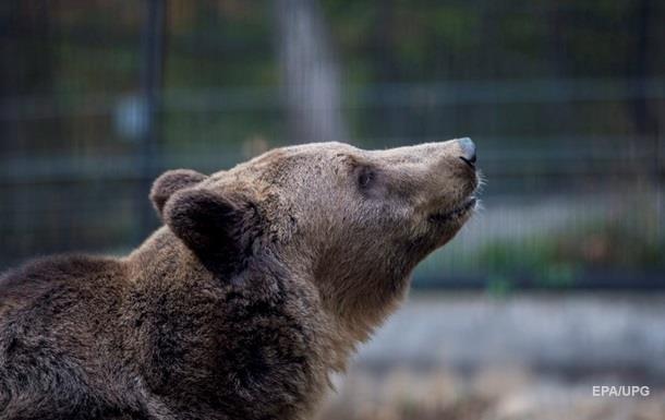 Россиянин откусил язык дикому медведю
