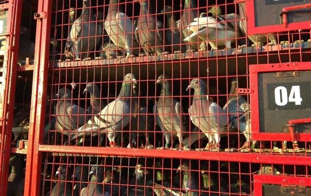 Голубиный спорт: В Украине выпустили 80 тысяч голубей из Румынии
