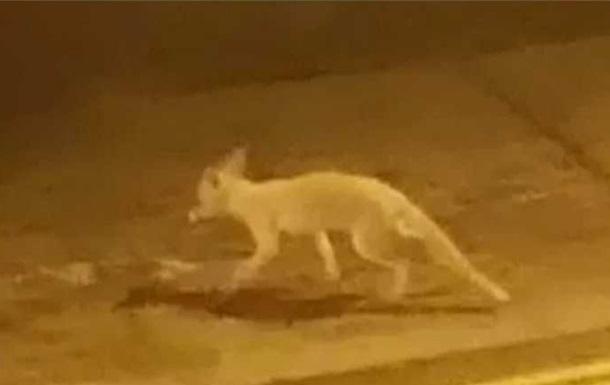 У Лондоні очевидець зняв рідкісну лисицю-альбіноса