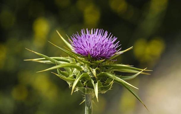 Ученые нашли эффективное растение в борьбе против гепатита С