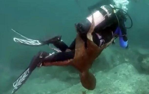 В Японском море осьминог прицепился к дайверу