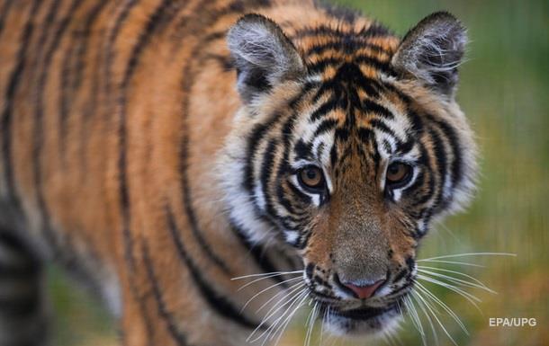 В Приморье амурский тигр попал в кадр фото-ловушки