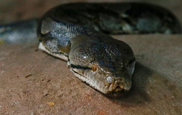 Змеелов выловил в Австралии  самого толстого  питона