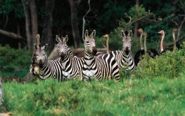 Нашествие зебр и страусов