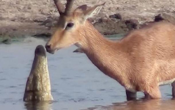 Антилопу атакували крокодил і зграя голодних собак