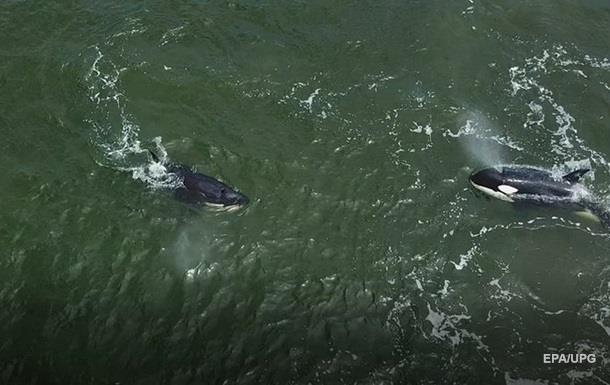 Появилось видео с косатками, которых выпустили из  китовой тюрьмы