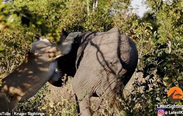 Появилось видео атаки слона голодной львицей