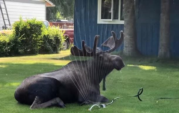 Спасающийся от жары лось удивил Сеть