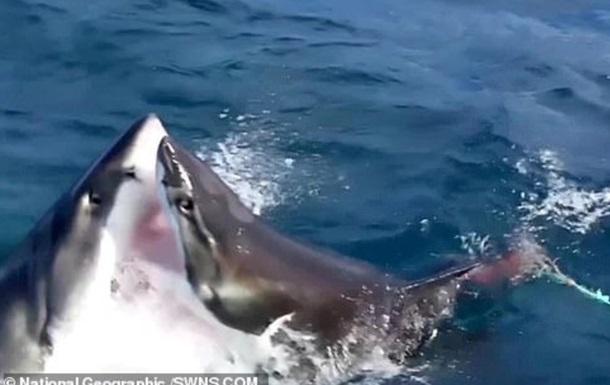 Жесткую схватку акул-людоедов сняли на видео