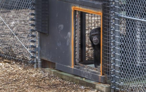 Во Франции шимпанзе откусил руку смотрителю зоопарка