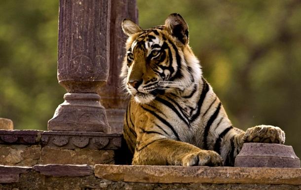 Разоренная толпа замучила тигра-убийцу до смерти
