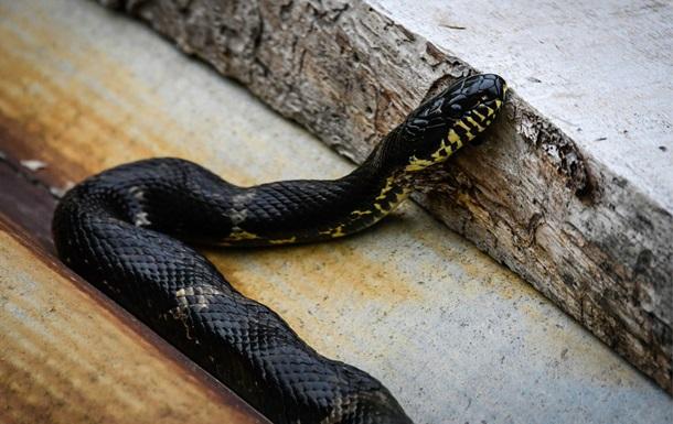 Пьяный индиец загрыз укусившую его змею