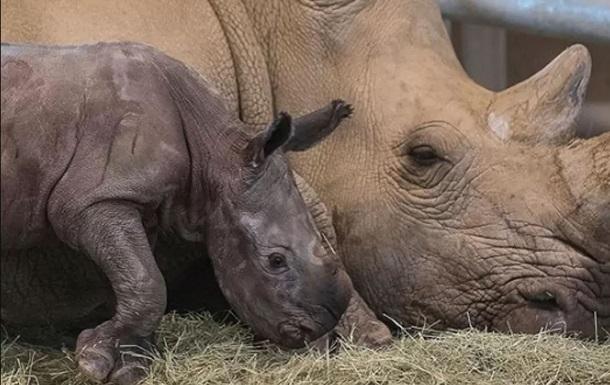 Білий носоріг вперше народився після штучного запліднення
