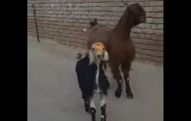 Химерні викрутаси кіз на відео розсмішили Мережу