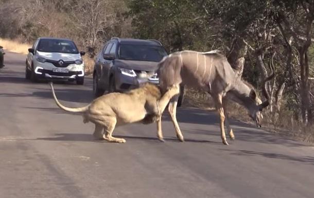 Лев напав на антилопу прямо на трасі