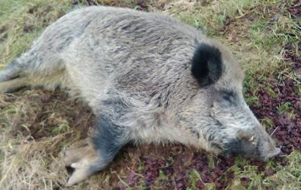 В Одесской области на берегу Дуная нашли трупы свиней с АЧС