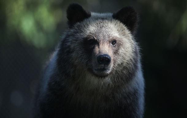 Французького композитора під час походу загриз ведмідь