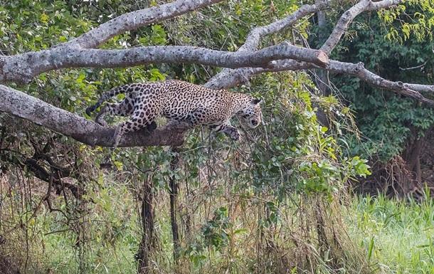 Турист снял смертельную схватку ягуара и каймана