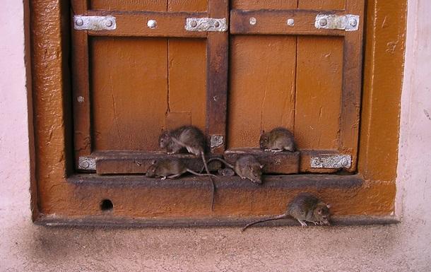 Вчені навчили щурів грати в хованки