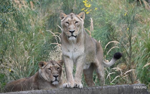 В индийском городе гуляющие львы попали на видео