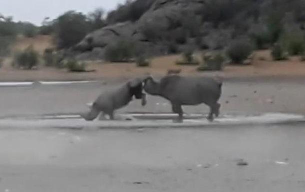Два редчайших черных носорога подрались на камеру