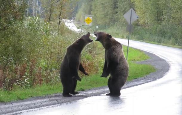 Схватку двух медведей гризли сняли на видео
