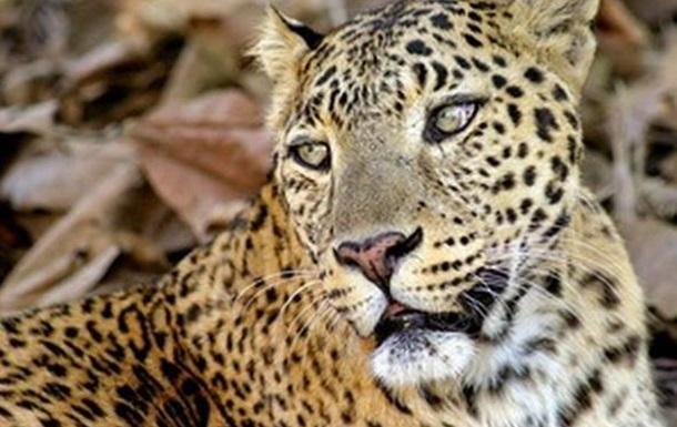 В Сети ищут на фото замаскировавшегося леопарда