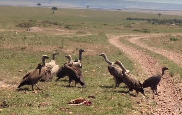Грифи вбили дитинча газелі на очах туристів