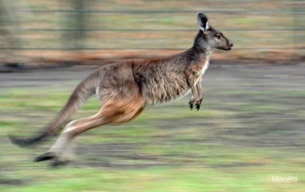 В Австралії кенгуру напав на парашутиста