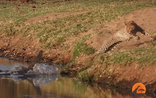 Леопард пытался забрать у крокодила еду и остался ни с чем