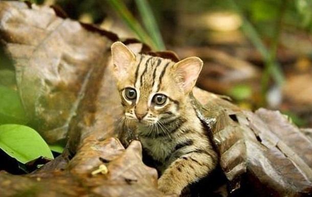 В Сети показали самую маленькую кошку в мире