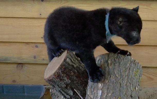 Маленькую пантеру выкормила кошка
