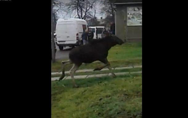 Во Львовской области лось бегал по городу