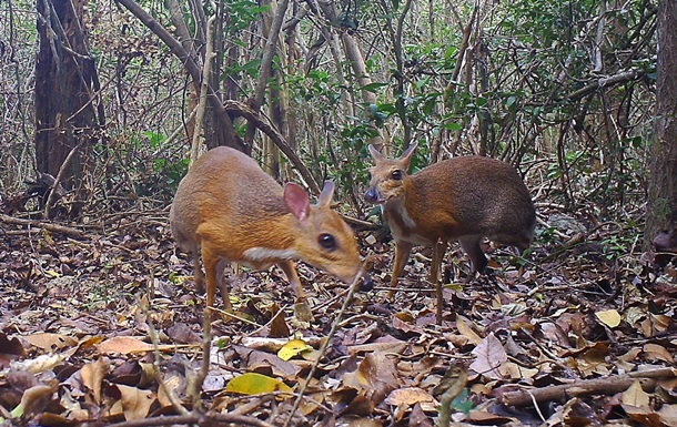 Одного из самых маленьких оленей в мире заметили во Вьетнаме