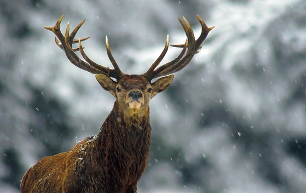 Фотографу вдалося відзняти рідкісного трирогого оленя