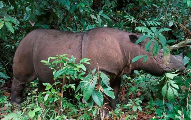 Умер последний суматранский носорог в Малайзии