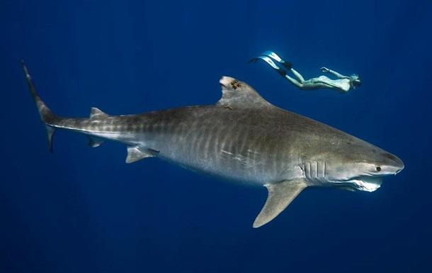 Дайвер, плаваючи з акулою-людожером, налякала Мережу