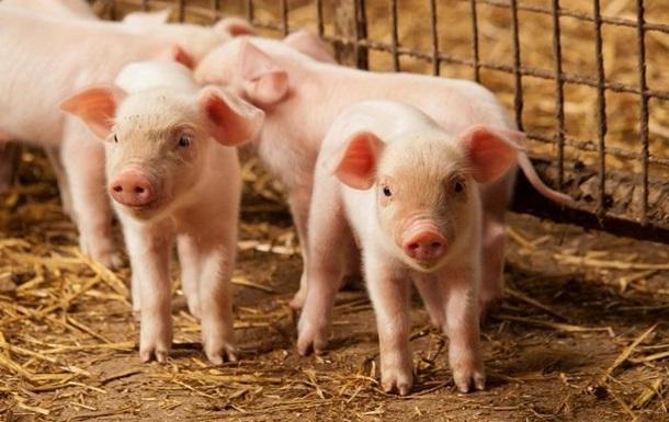 Обеспокоенный отец отдает 300 свиней тому, кто женится на его дочери