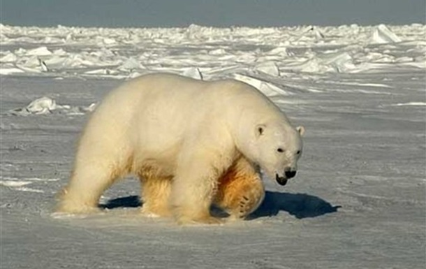 На видео попал белый медведь с надписью Т-34
