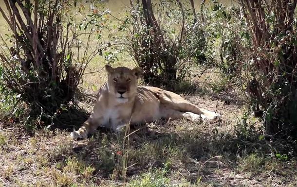 Левиця з їла антилопу на очах у туристів