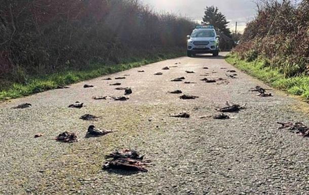 Сотні мертвих птахів засипали дорогу в Уельсі