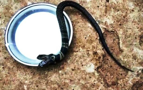 В Індії виявили двоголову кобру