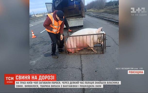 На Рівненщині мешканці села хотіли привласнити загублену на трасі свиню