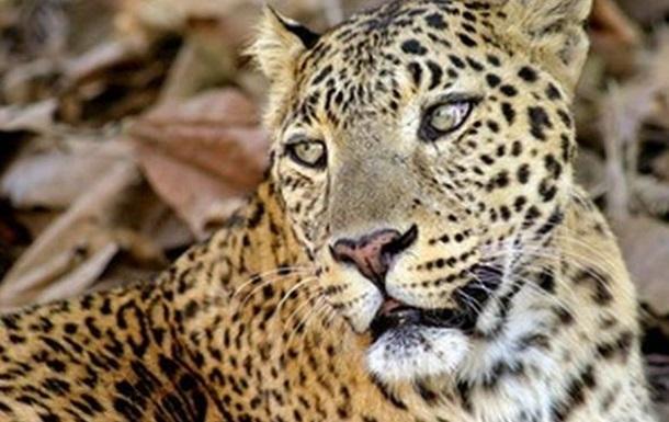 Туристи зняли полювання леопарда на дикого кота