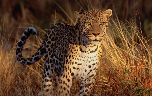 В Индии леопард растерзал пятилетнего ребенка