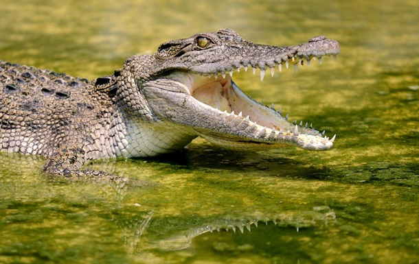 Рідкісного крокодила вбили за напад на співробітницю зоопарку