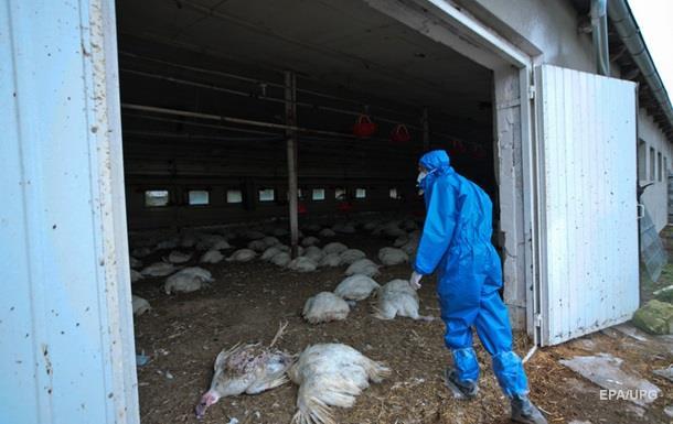 У Польщі нові спалахи пташиного грипу: загинуло 40 тисяч птахів