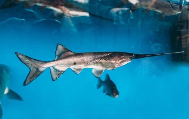 Названо перший вид риб, який вимер після 2000 року